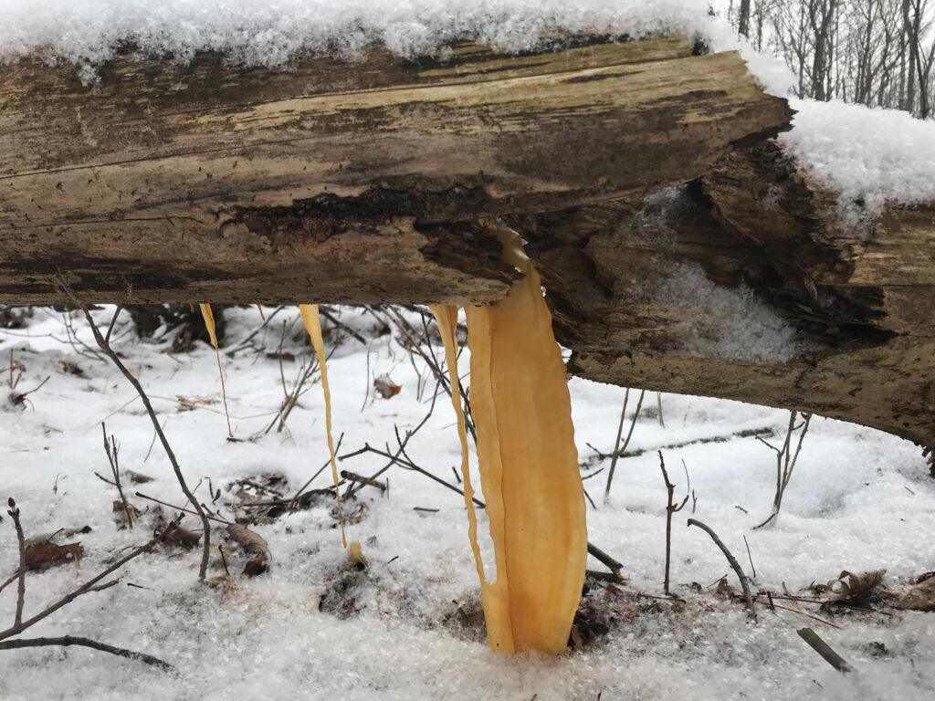 Decaying log stained water draining through it to create a dark yellow icicle