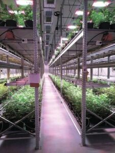 Light for medical cannabis growing