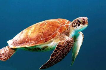 tortugas marinas en chile
