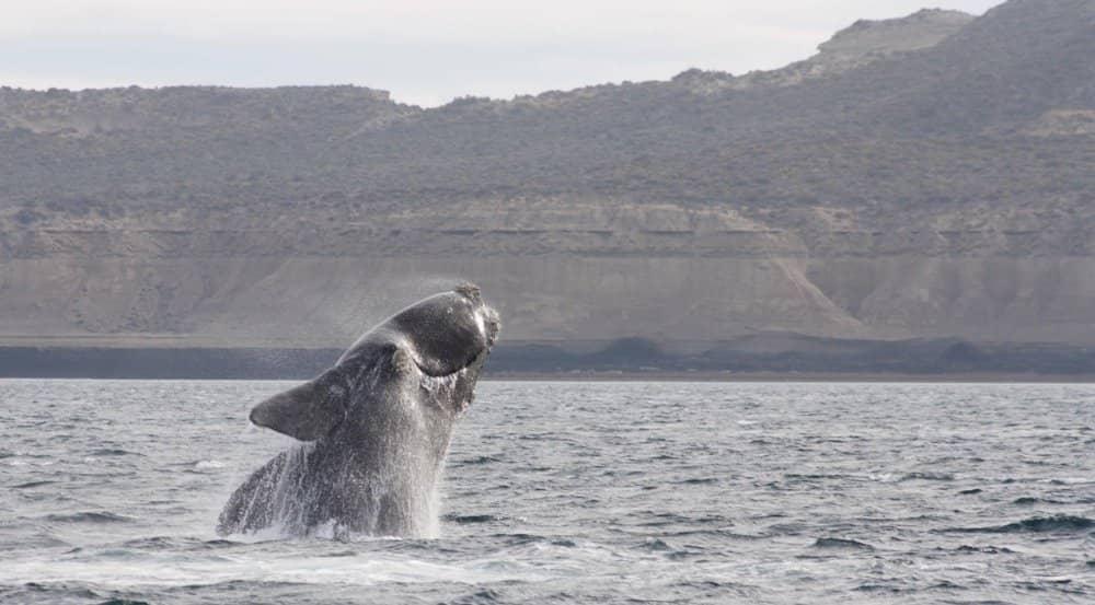 ballena franca austral turismo ballenero