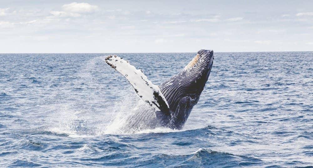 ballena jorobada donde verla en chile