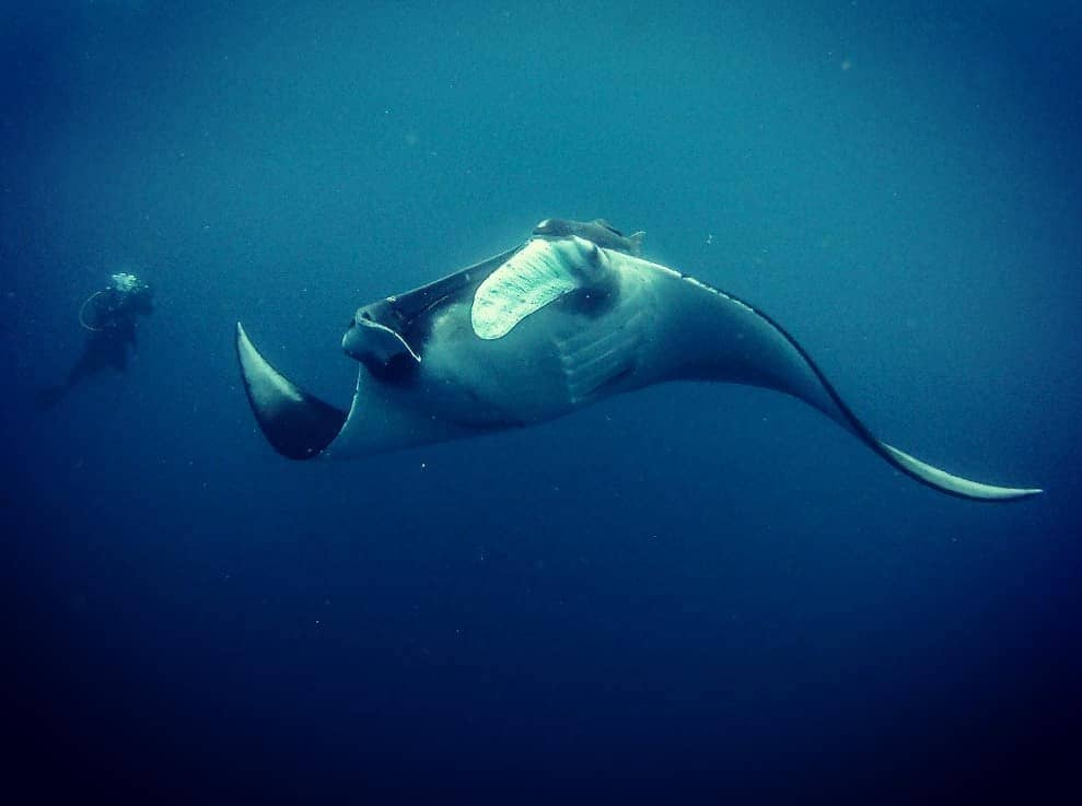 expedicion mantarrayas gigantes isla de la plata ecuador scuba peter oceano
