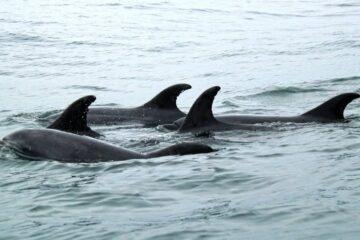 isla damas delfines no a dominga
