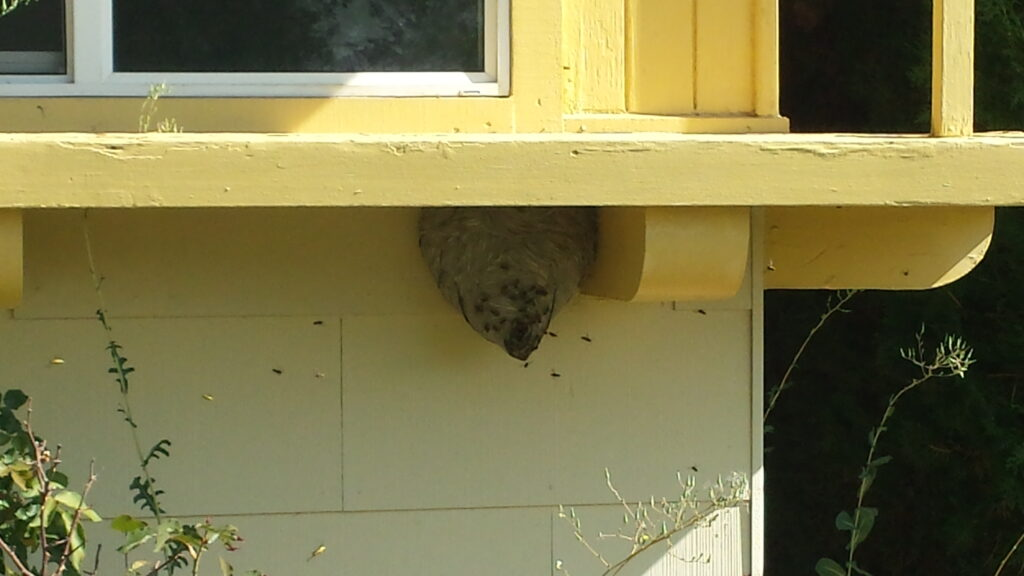 Bald Faced Hornet Nest under windowsill