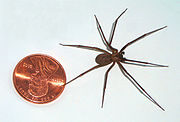 The size of a brown recluse spider compared to a penny coin