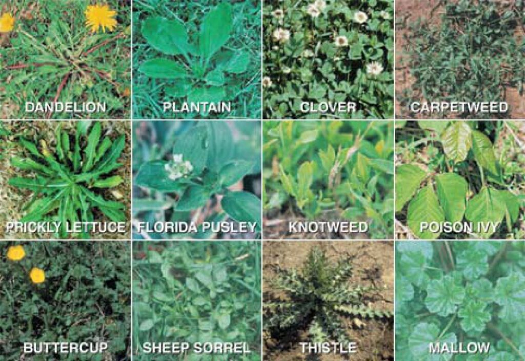 Weeds to control