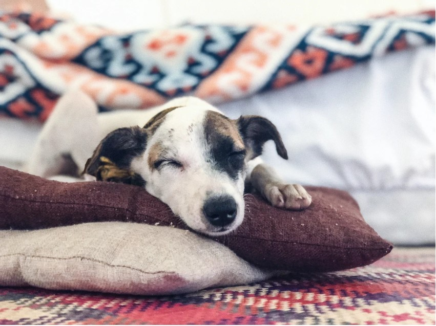 Dog Lies On Pillow And Blanket In Tent