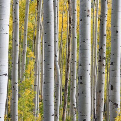 Birch give way to Pines and Oak