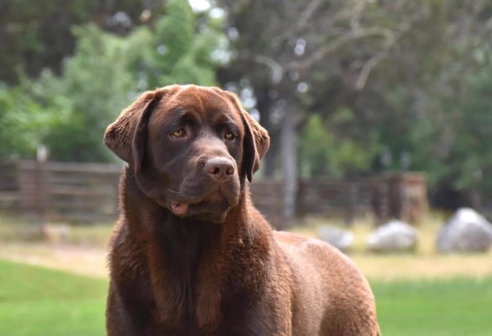 Chocolate Lab Steam of SEGA Labrador Retrievers
