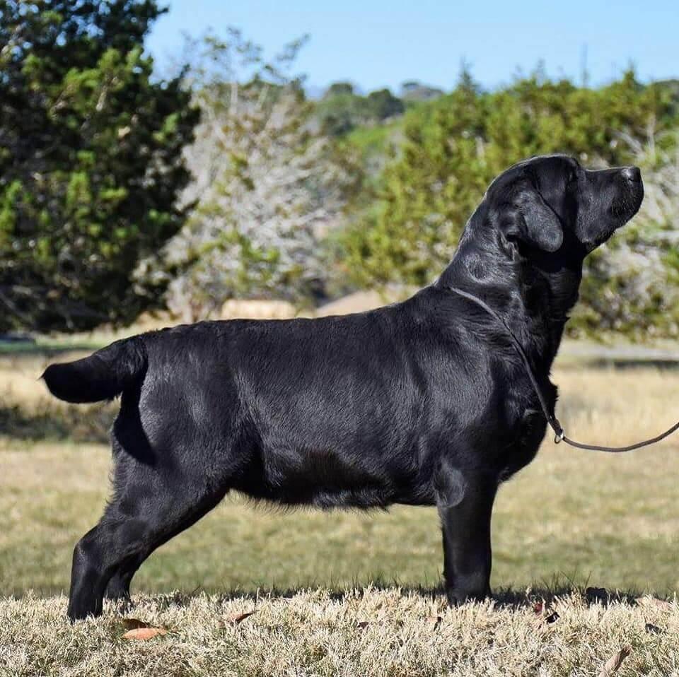Black Labrador Retriever Fancy of SEGA Labrador Retrievers