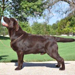 Chocolate Labrador posing for the camera at SEGA Labrador Retrievers