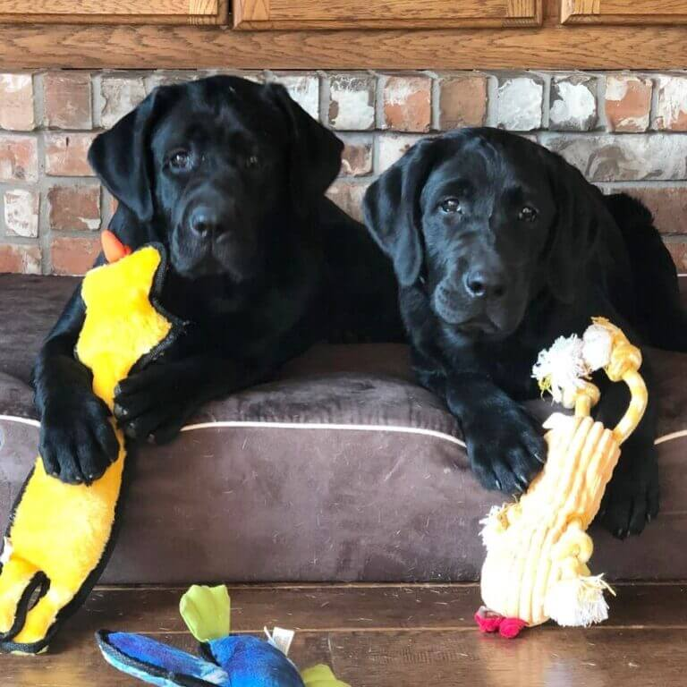 Puppies Roma and Poncho of SEGA Labrador Retrievers