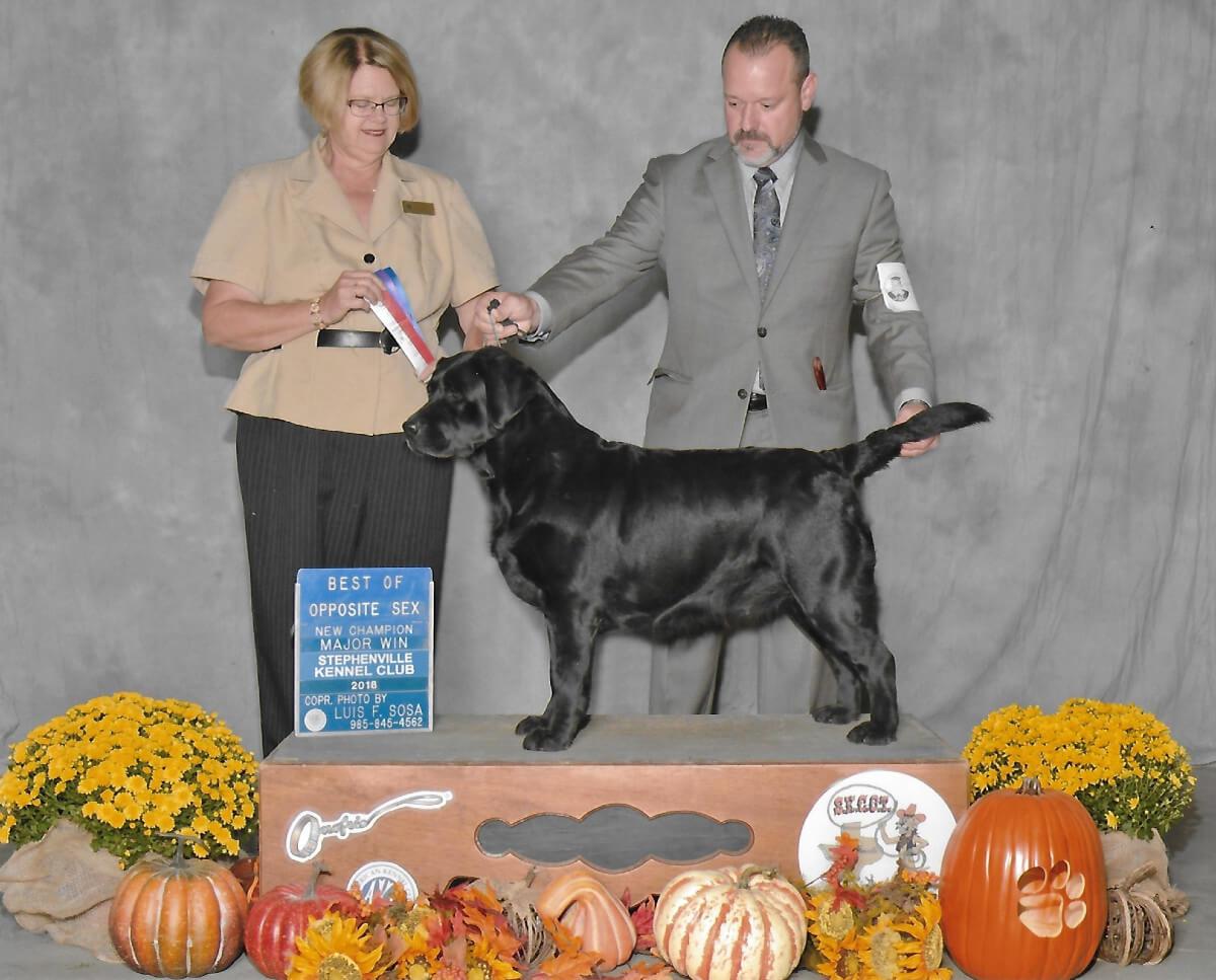 Fancy of SEGA Labrador Retrievers