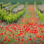 vine-poppy-flower-field-marche-italy