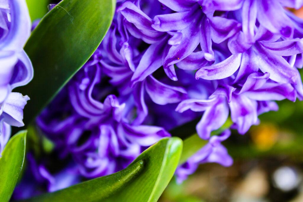 Hyacinth photographed at Blarney Castle circa April 2015