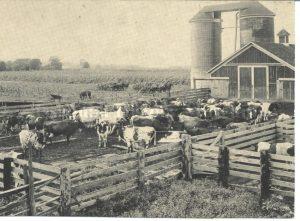 Pickering Farm Cows