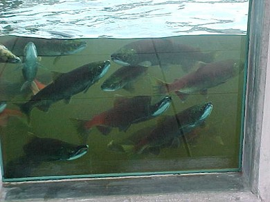 Salmon at the Issaquah Hatchery