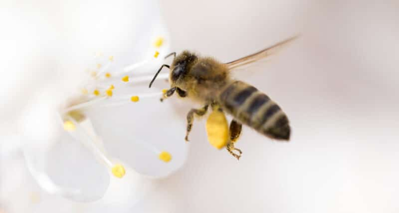 Cute Bee with Pollen