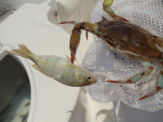blue crab  steeling my pinfish