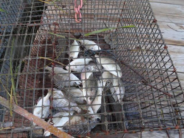 pinfish trap