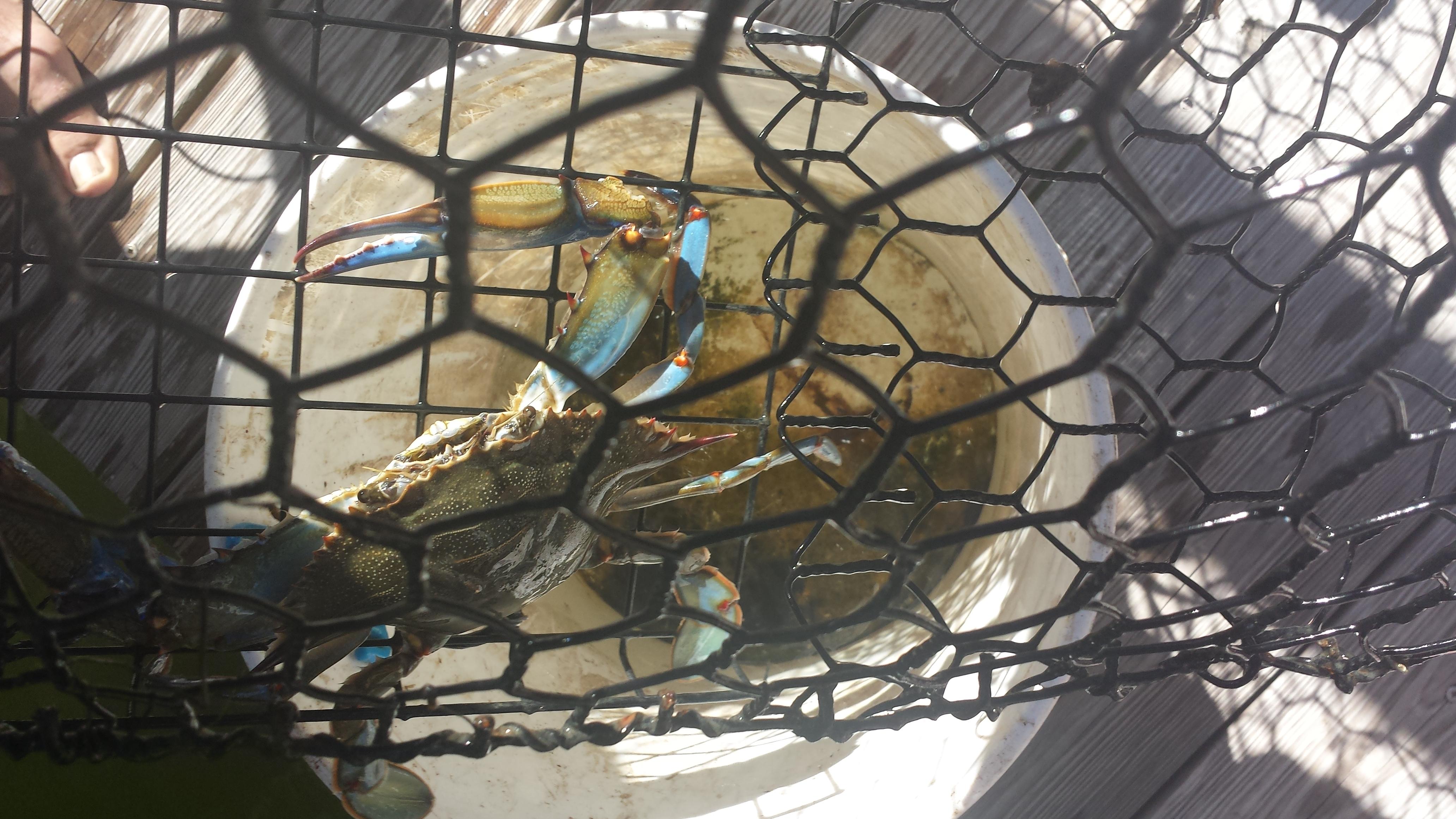 Freshly caught Florida blue crab