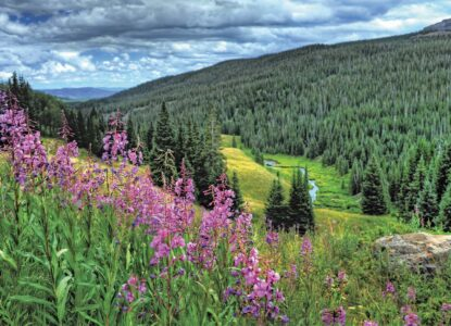 Spring Hiking Challenge Purple wild flowers admist pine trees in Black Hills South Dakota