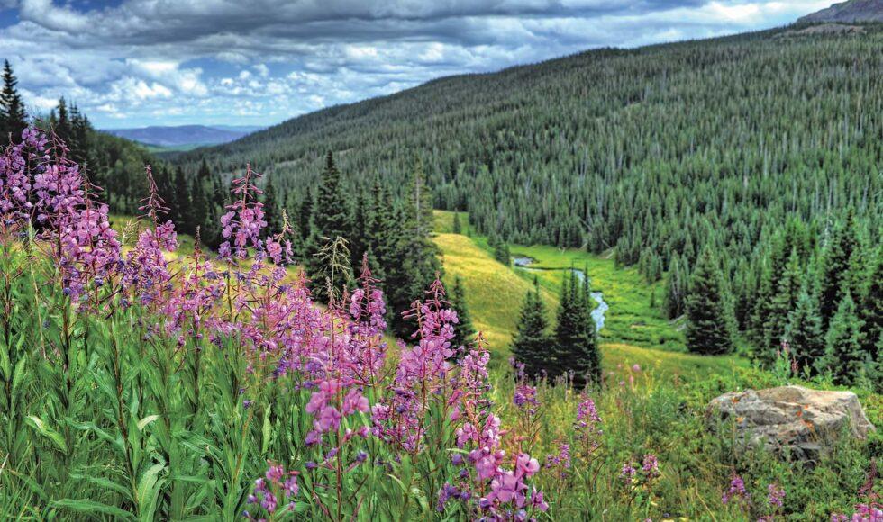 Spring Hiking Challenge Purple wild flowers admist pine trees in Black Hills South Dakota