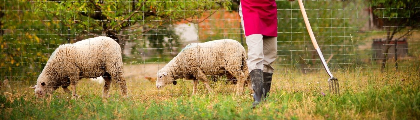 A person in khakis, black boots, and a red apron stands among a flock of sheep.