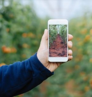 A hand holds up a white smart phone displaying a photo of an aisle of tomato vines. The arm is wearing a dark blue fleece.