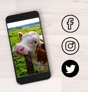 A black smart phone rests on a wooden table top. The phone screen displays a photo of a brown and white cow, seeming to smile and resting her head on a fence post. Black logos for Facebook, Instagram, and Twitter.