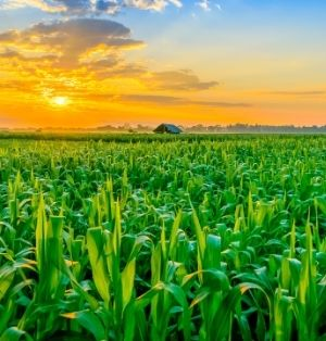 The sun sets over a green corn field. The sky is blazing orange.