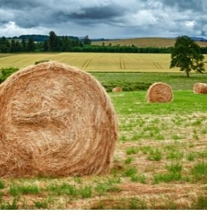 Large, round hay bales dot the landscape