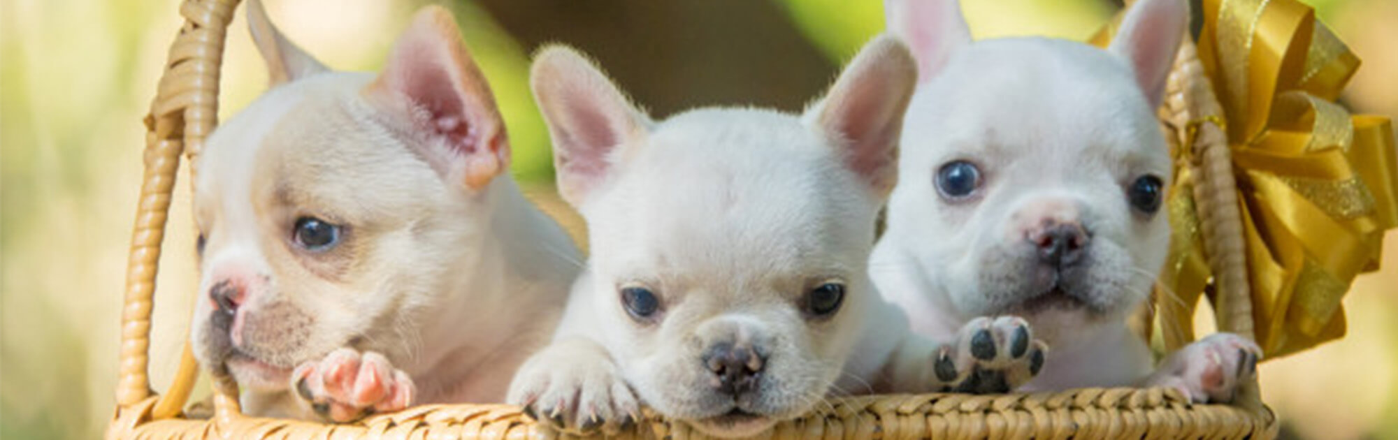 Frenchies-for-sale