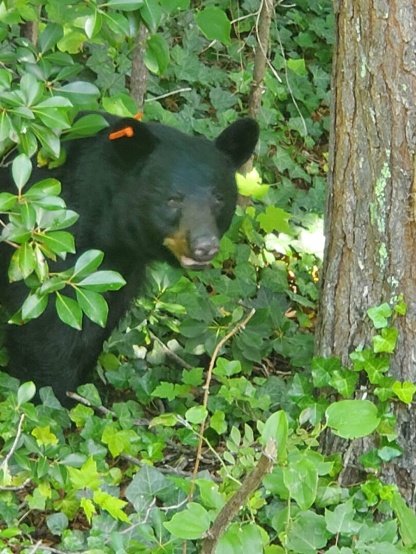 Black Bear with ear clip looking into camera