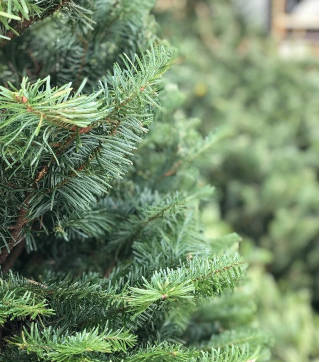 Nordmann Fir is deep green in color with a silver underside, has soft foliage and are known for their symmetry. They have excellent needle retention.