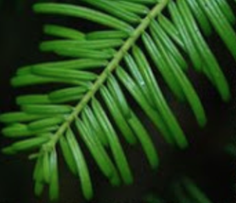 Grand Fir have soft needles are dark green-blue green in color and are approximately 1-1.5 in. in length. Needles radiate from side to side. When crushed, these needles have a sweet citrus fragrance.