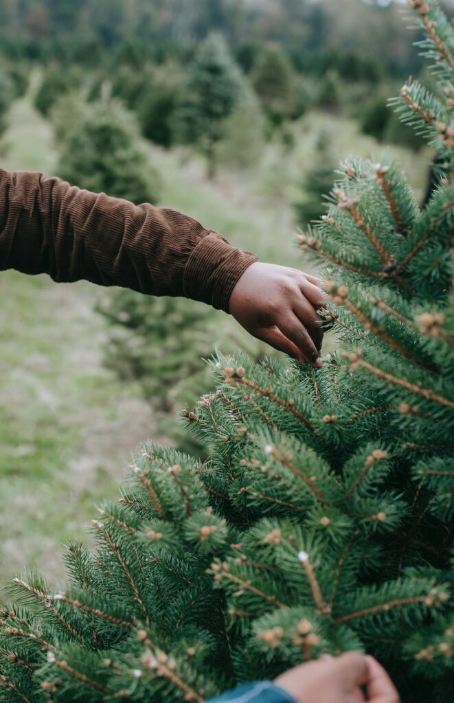 Douglas fir have soft needles are a bright green color and are approximately 1-1.5 in. in length. The Douglass Fir needles radiate in all directions from the branch. When crushed.
