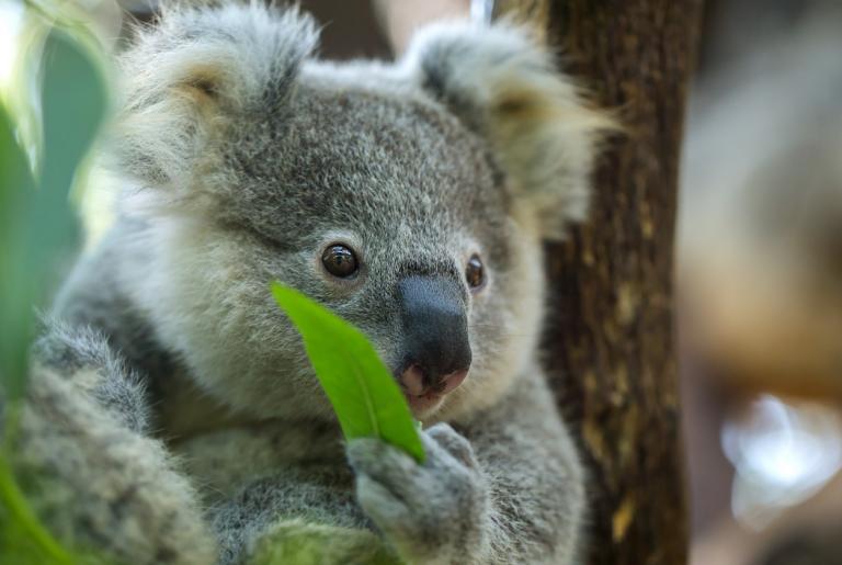 Koala eating a eucalyptus leaf