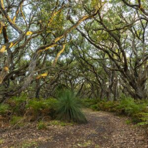 This image was taken in the depths of Green Bush in the Mornington Peninsula National Park. It shows a bush track disappearing into the middle distance and the sunrise hits the tips of the trees that are creating an arch over the track.