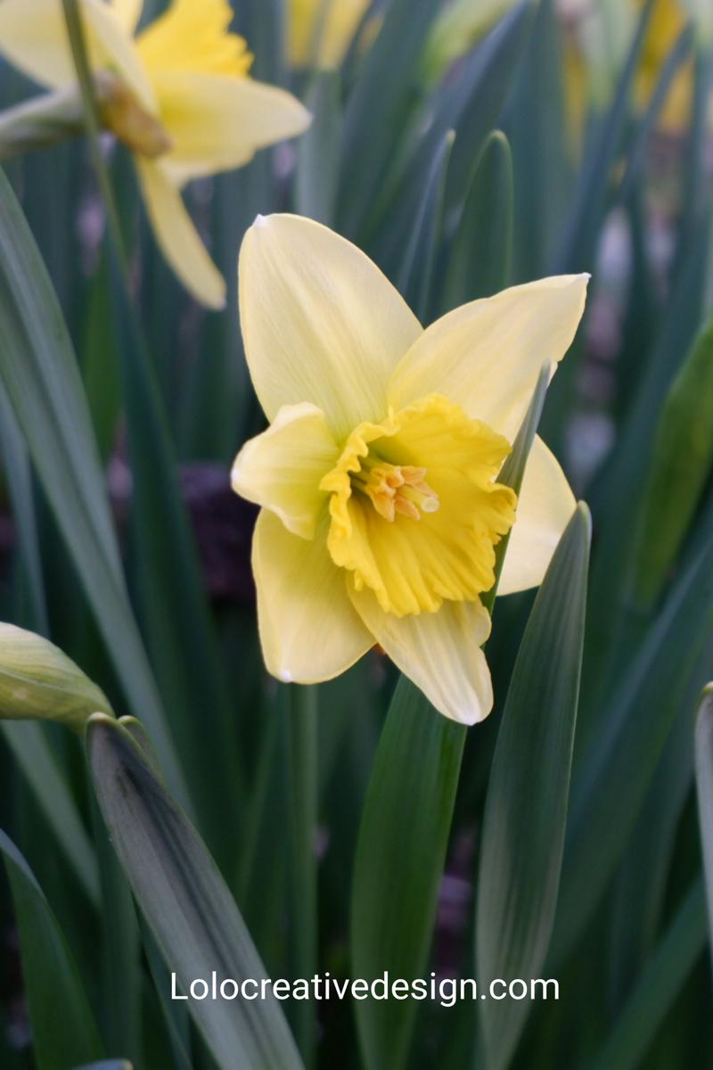 Dying slowly daffodil