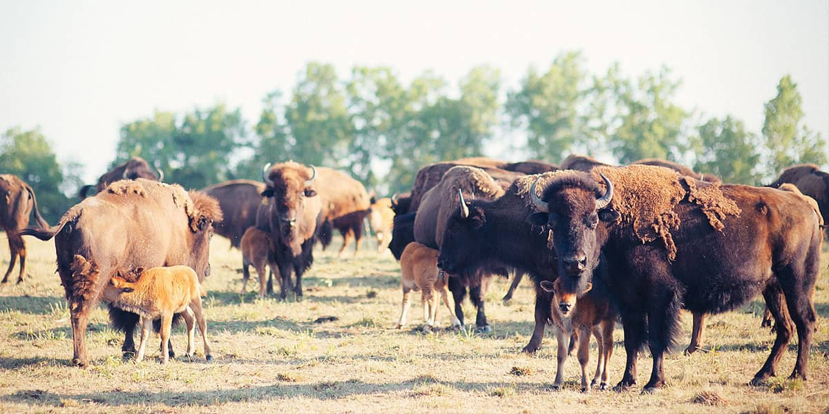 Grassroots How to Cook Bison