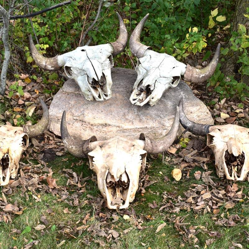 Grassroots Bison Skulls