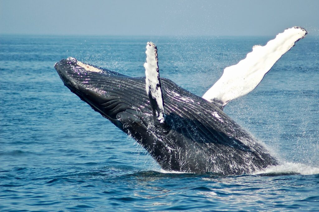 Scope Academics - Whale in Canadian ocean flipping