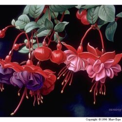 Fuchsia is an original 20.25 x 30.25 inches acrylics floral painting © 1996 Marv Espe. Red and purple flowers with red berries and green leaves.