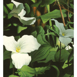 Triple Trillium is an original 13 x 9.75 inches acrylics floral painting © 2004 Marv Espe. Beautiful white Triple Trillium flower blossoms with green leaves.