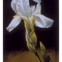 White Iris is a 11.125 x 6 inches lithograph print © 1990 by Marv Espe, depicting flowers on a black background.