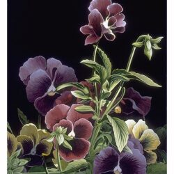 Pansies is a 11 x 8.25 inches lithograph print of acrylics © 1996 Marv Espe. Beautiful pansy flowers on a black background.