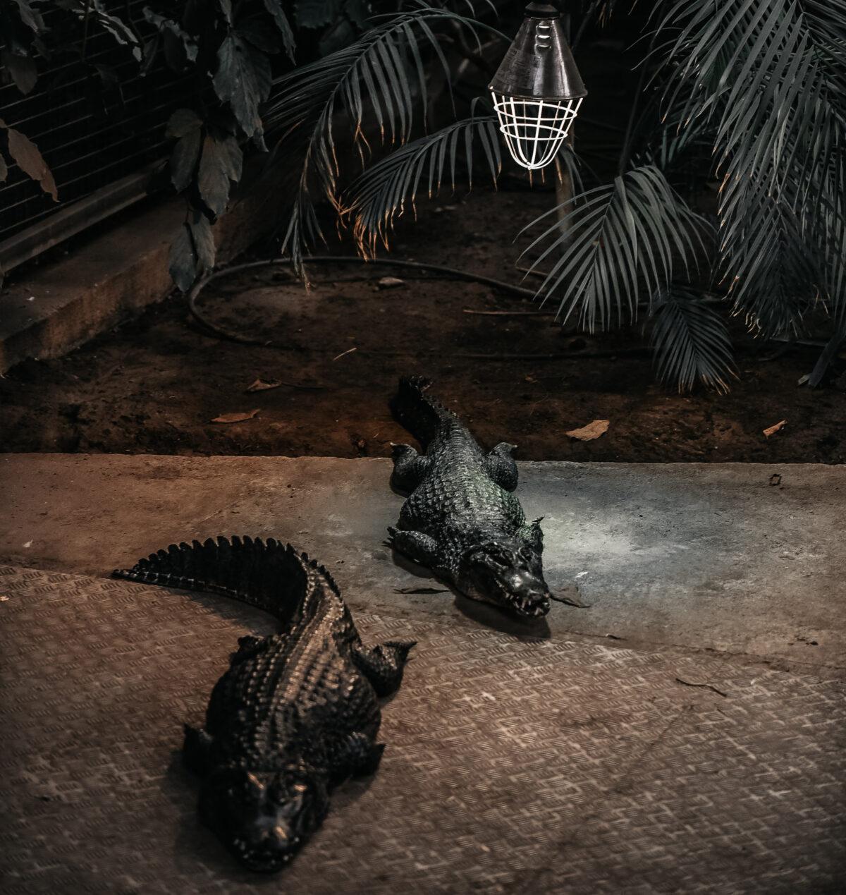 Florida Alligators | DREAMPORT DESIGN