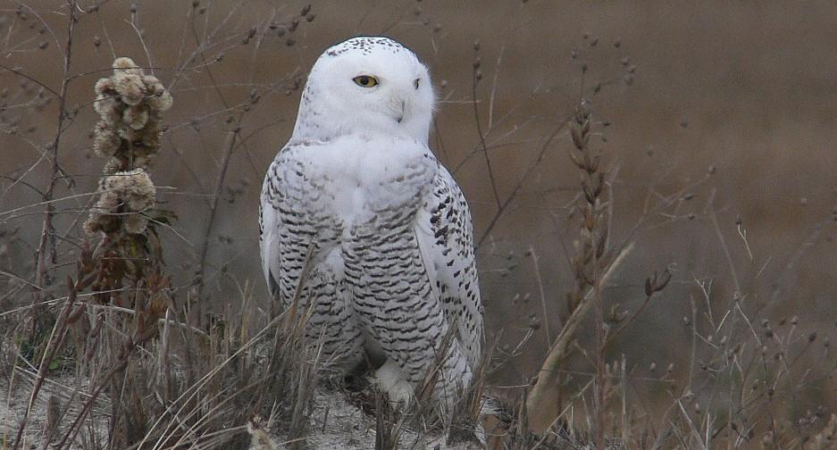 Snowy Owls on Plum Island