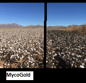 MycoGold biological Cotton seed treatment